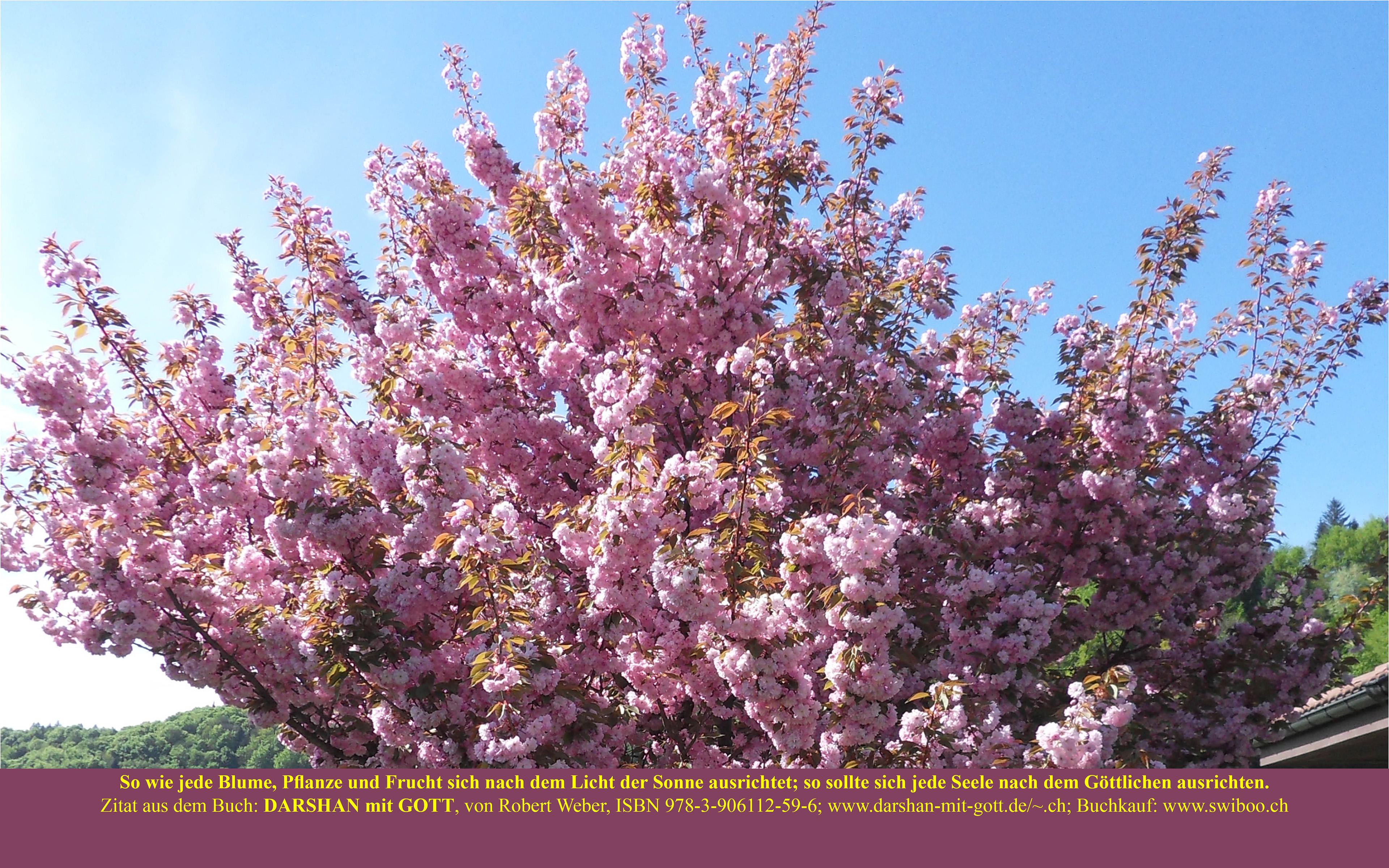 DARSHAN mit GOTT: So wie jede Blume, ..., Japanischer Kirschbaum